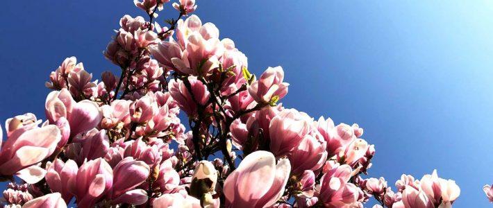 Magnolien auch im kleinen Garten